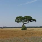 Markanter Baum zwischen Lichtensee und Wülknitz