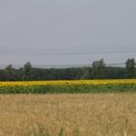 Sonnenblumenfeld bei Tiefenau